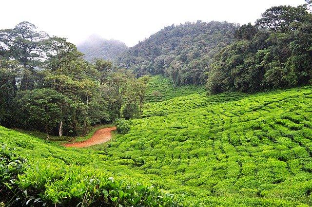 Zelený čaj – drahokam mezi čaji